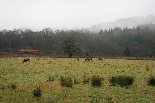 Deer near Aberfoyle