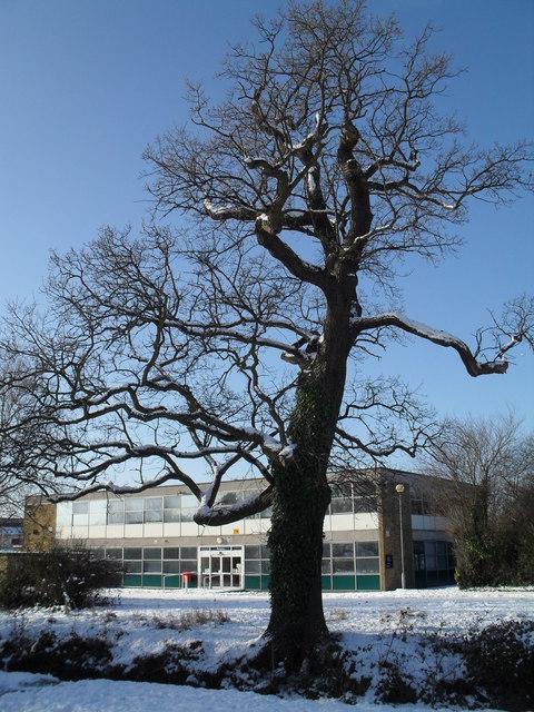 Gnarled tree near River Way
