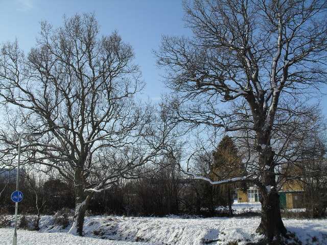 Winter trees in Lavant Drive