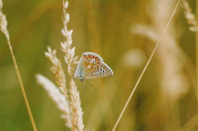 Common Blue Butterfly at rest