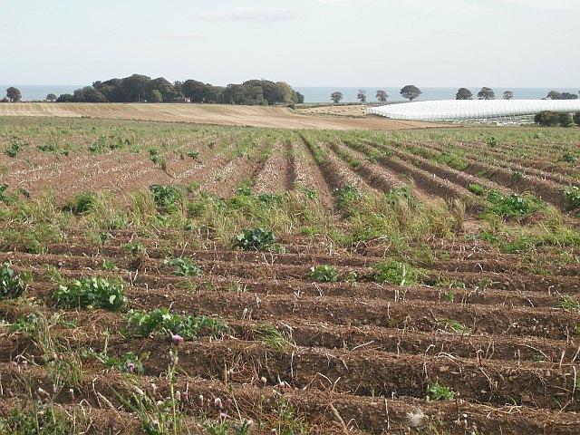 Potato field, Hatton Farm