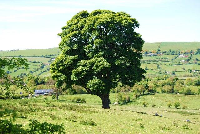 A splendid oak tree