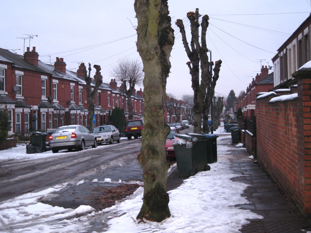 Pollarded limes, Mayfield Road