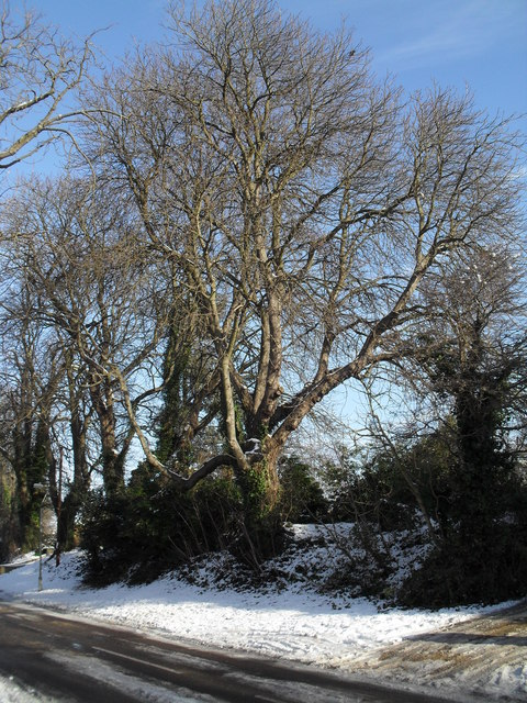 Winter trees in Russell Road