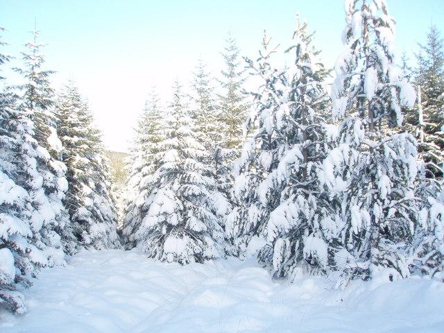 Sitka spruce in heavy snow.