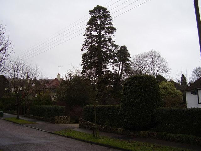 The Redwood Pine