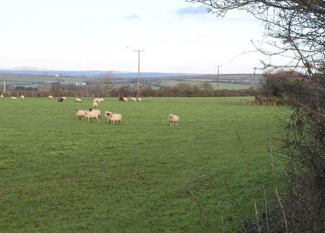 Sheep at Mount Pleasant