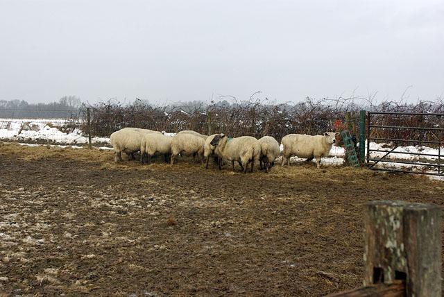 Tough time for sheep