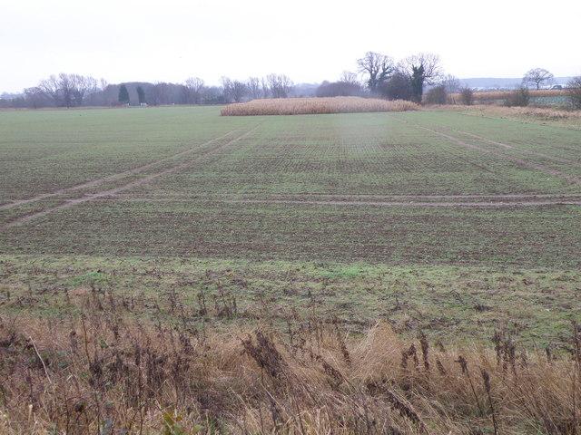 Pheasant cover near Willington