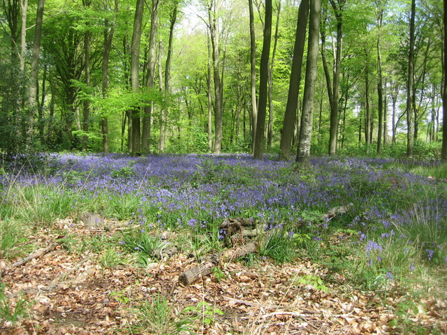 Bluebells - Micheldever Woods