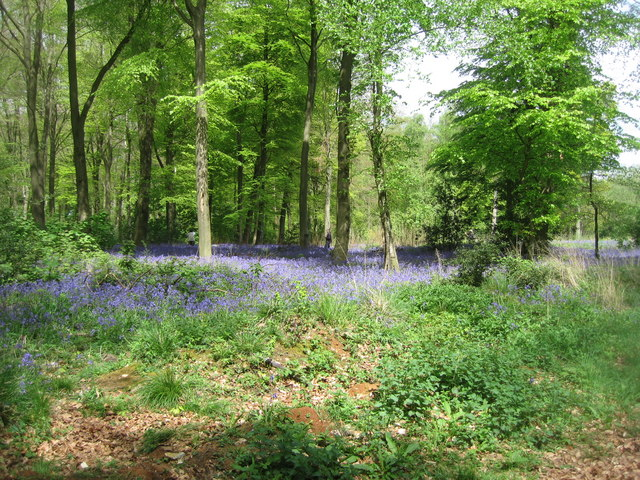 Micheldever Woods - Bluebells