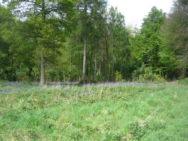 Micheldever Woods - Bluebells