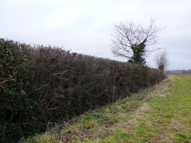 Hedgerow, Yeovil marsh