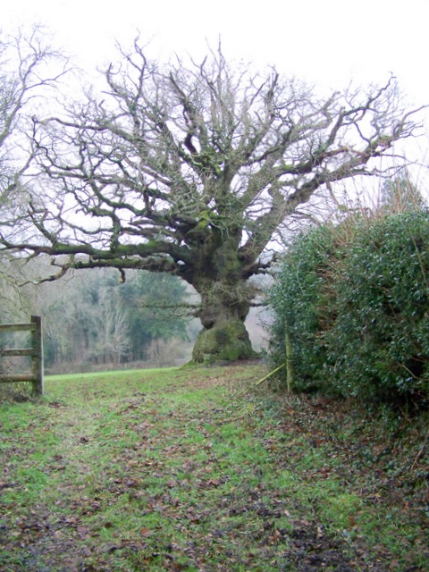 Gnarled old tree near Hale