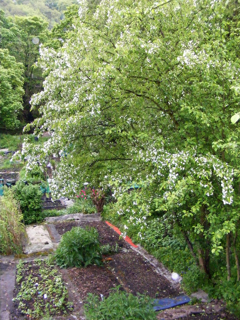 Blossom laden trees - allotments off Mayroyd Lane