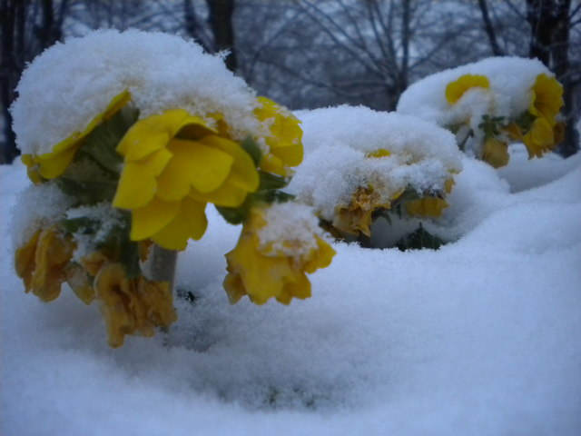 Yellow flowers, St Pancras Gardens NW1