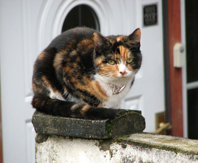 Tortoiseshell cat in Station Road South