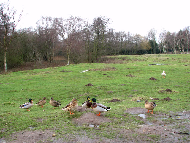 Wild ducks by Wild Duck (Haven) holiday park