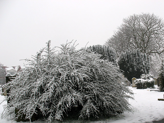 Mitcham churchyard: bushes in the snow