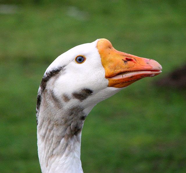 A hopeful goose ( close-up)