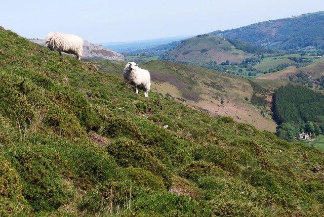 Last year's ewe lambs