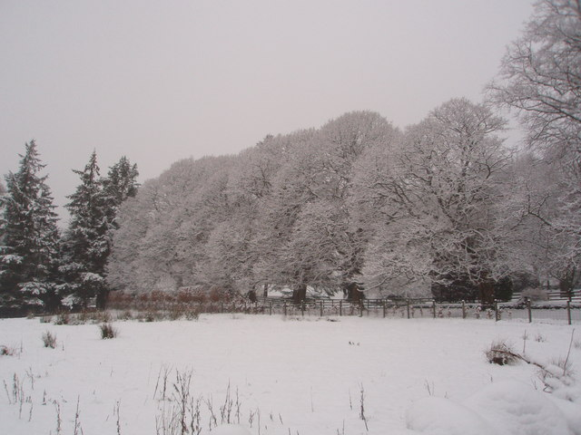 Lime trees in the snow.
