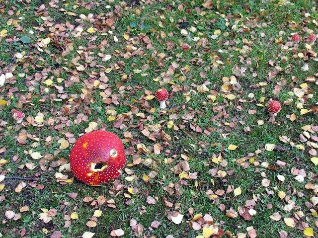 St George, Esher, Surrey - Toadstools in churchyard