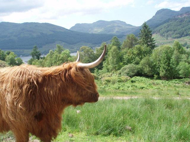 Highland cow above Lochgoilhead