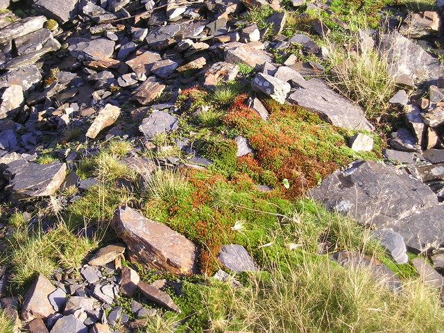 Mosses  colonising a slate mine spoil heap