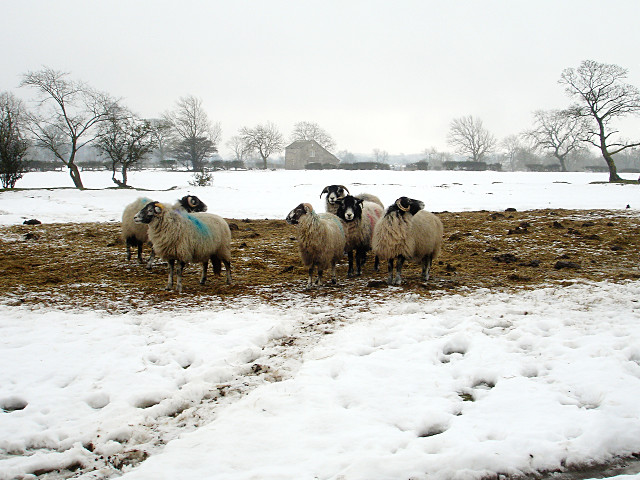 Hopeful sheep in the thaw