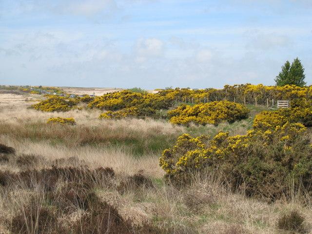 Gorse Bushes on Waupley Moor
