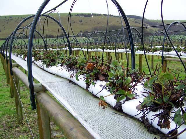 Growing strawberries, PYO Ansty
