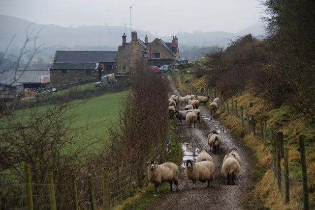 Sheep in the lane