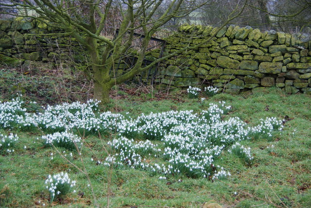 Snowdrops by a wall