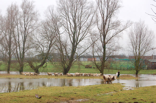 Sheep in flooded pasture beside Stonebridge Lane