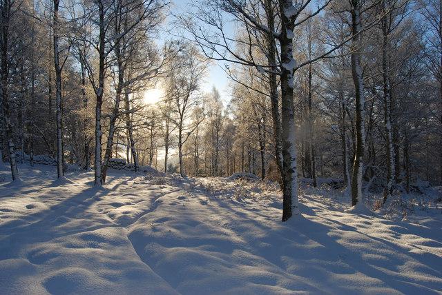 Snowy Birches in Finzean West Woods