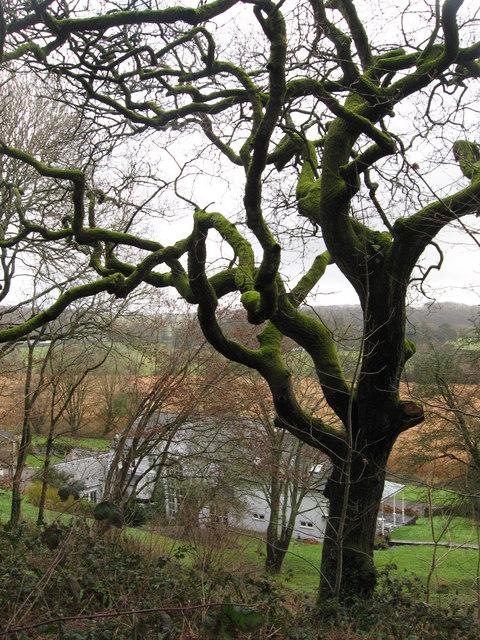 Moss-covered tree near Llansannor