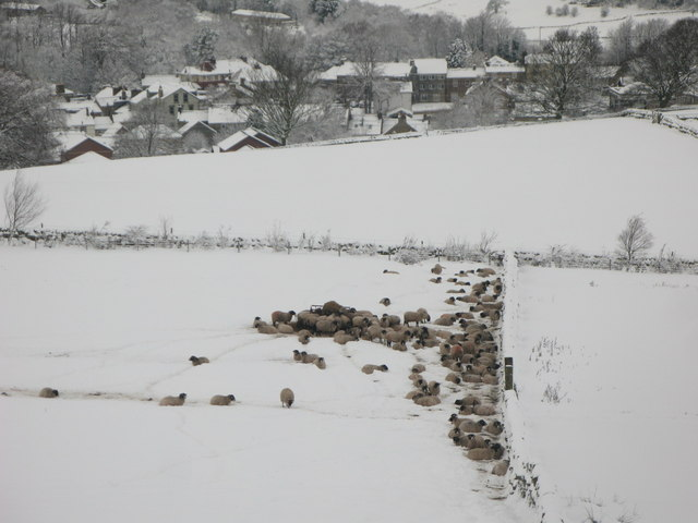 Sheep on snowy pastures above Allendale Town