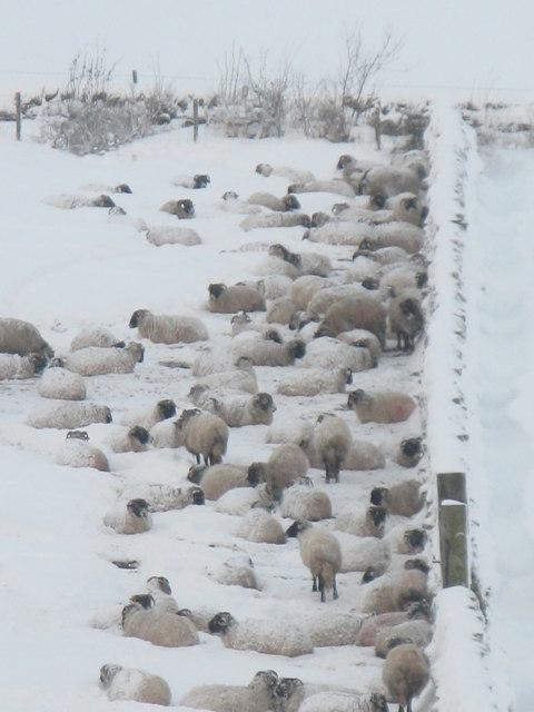 Snowy Swaledale sheep