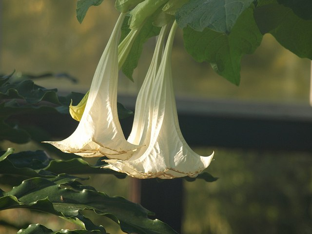 Brugmansia, Palm House, Torquay