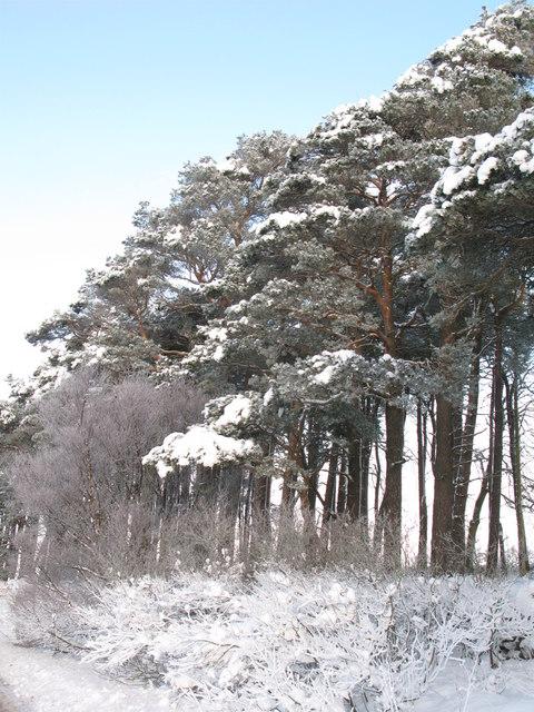 Snowy plantation near The Spittal