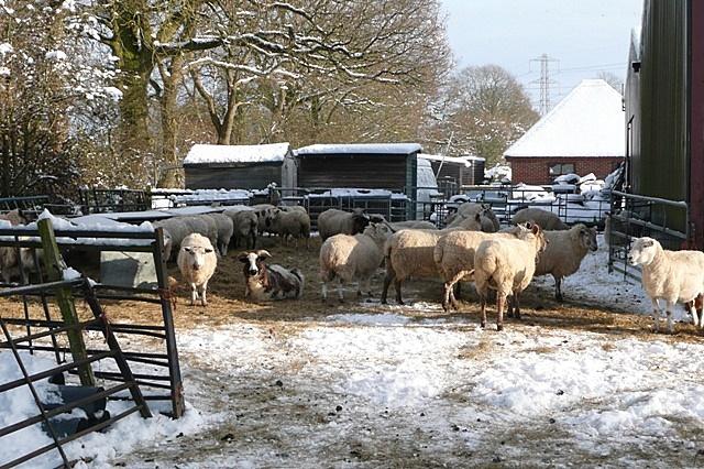 Sheep at Boars Bridge Farm