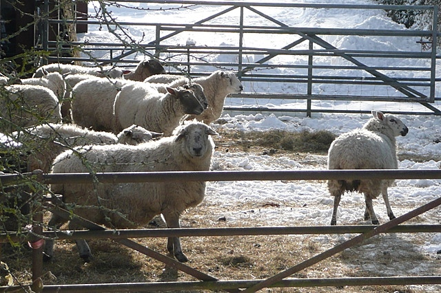 Sheep at Boars Bridge Farm