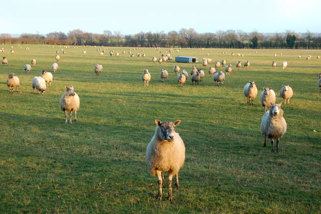 Sheep waiting for their feed north of Broadwell