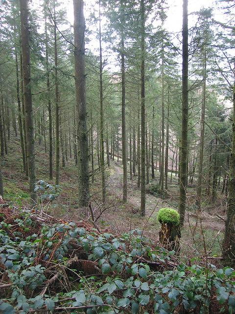 Mossy forest at Bwlch-y-graig