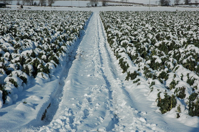 Snow covered crop, Birlingham
