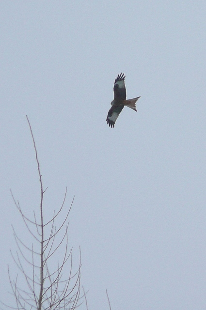 Red Kite above Stratfield Saye