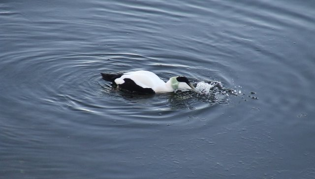 Eider with mussel