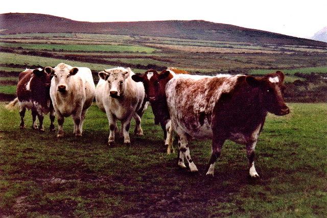 Cregneash - Cattle on farm land