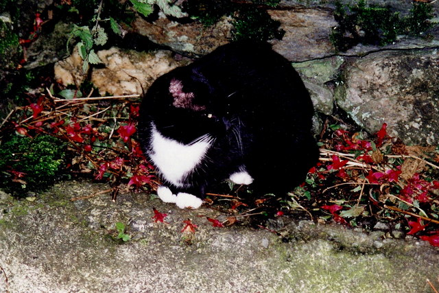 Cregneash - Cat at stone wall near church